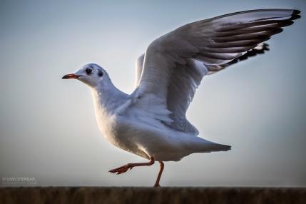 Gull Balett