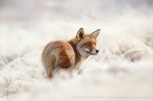 red_fox__white_world_iii_by_thrumyeye-d8isn55
