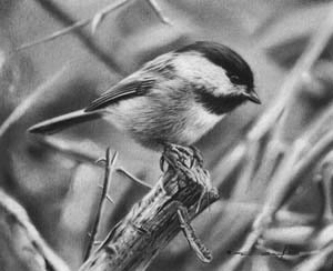 chickadee_pencil_drawing_____by_denismayerjr-d8v56dq